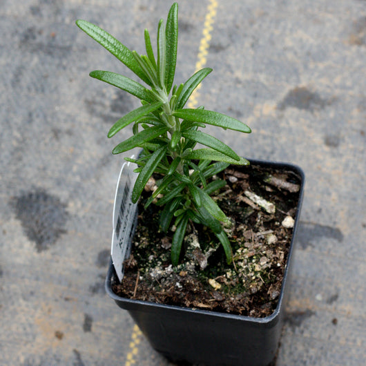 Rosemary (two plants)