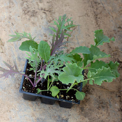 Kale 6-pack (plants)