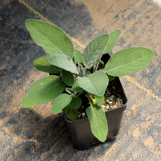 Sage (two plants)