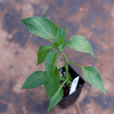 Hot pepper (two plants)