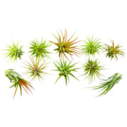Bliss Gardens 10 Pack Assorted Ionantha Air Plants - Bliss Gardens