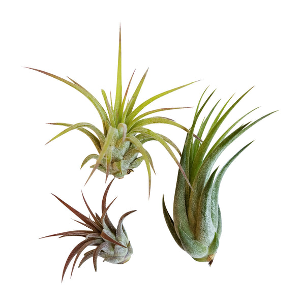 3 pc Air Plant Ionantha Tillandsia Set - Bliss Gardens