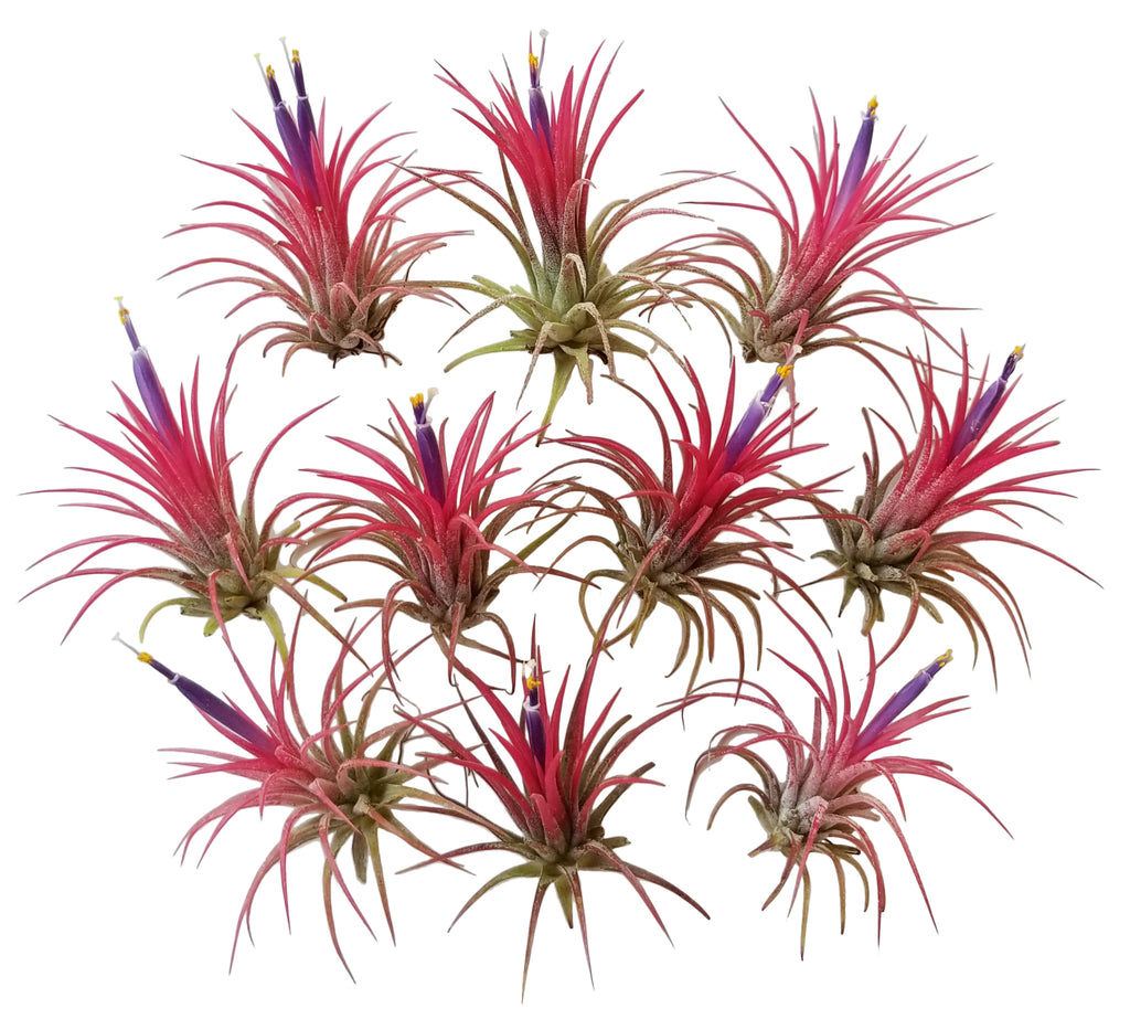 Bliss Gardens Air Plants Red Ionantha Fuego 10 Pack
