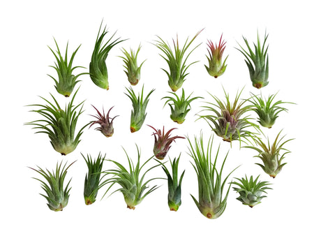 20 pc Air Plant Ionantha Tillandsia Lot - Bliss Gardens