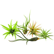 Bliss Gardens 5 Pack Assorted Tillandsia Air Plants - Bliss Gardens