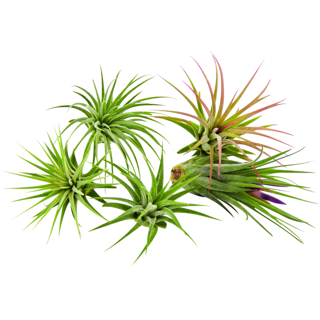 Bliss Gardens 5 Pack Ionantha Tillandsia Air Plants Assorted - Bliss Gardens