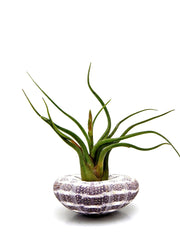 Bliss Gardens Air Plant Large Alfonso Sea Urchin with Caput Medusae Tillandsia - Bliss Gardens