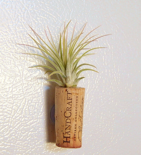 Bliss Gardens Wine Cork Air Plant Magnet - Bliss Gardens
