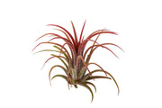 Bliss Gardens Air Plants Red Ionantha Fuego 10 Pack - Bliss Gardens
