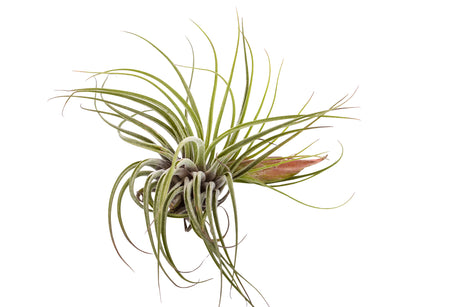 Air Plant Tillandsia Oaxacana - Bliss Gardens