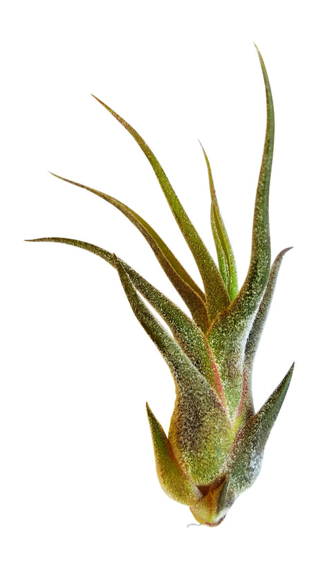 Air Plant Tillandsia Pruinosa - Bliss Gardens