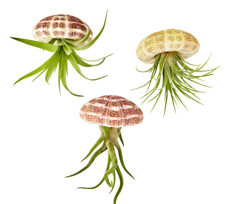 Bliss Gardens 3pc Air Plant Hanging Jellyfish Set - Includes Air Plants, Shells and Gift Box