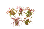 Airplants Tillandsia Red Ionantha Fuego 5 Pack - Bliss Gardens