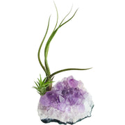 Bliss Gardens Purple Amethyst Crystal Quartz W/ 2 Air Plants / Healing Garden - Bliss Gardens
