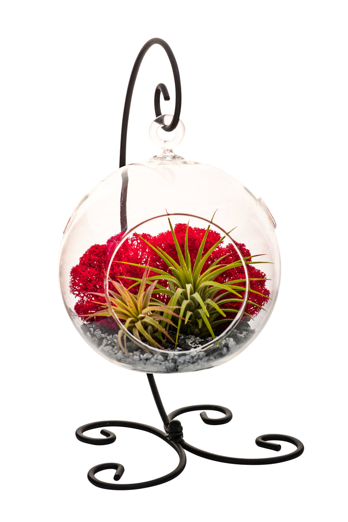 "Bliss Gardens Air Plant Terrarium with 5"" Round Glass / Black Stand / Red Moss - Bliss Gardens"