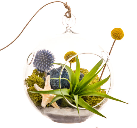 "Bliss Gardens Air Plant Terrarium Kit W/ Knobby Starfish / 5"" Glass Globe / Deep Blue Sea - Bliss Gardens"