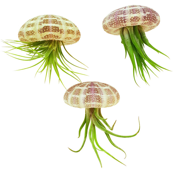 Bliss Gardens Hanging Air Plant / Jellyfish / Trio Pack