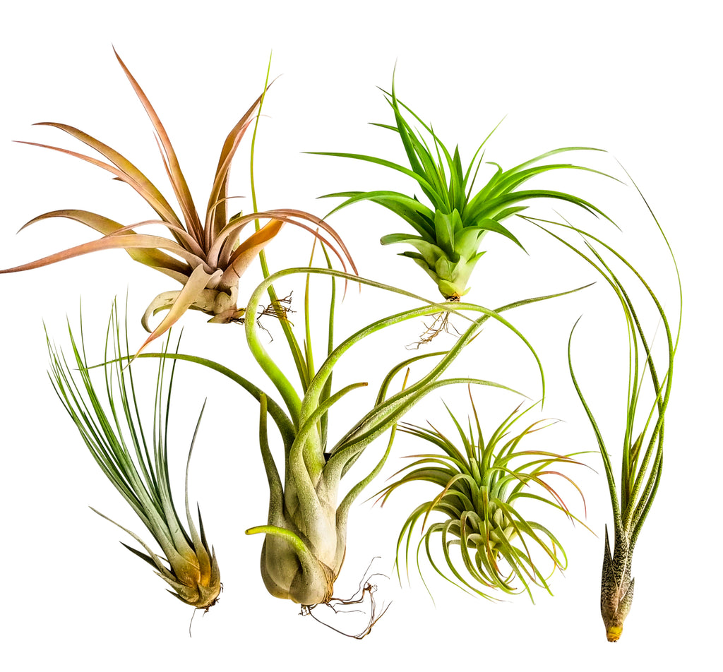 6pc X-Large Air Plant Tillandsia / Live Houseplants / 6 X-Large Air Plants Assorted Unique and Exotic Varieties 4 to 10 Inches - Bliss Gardens