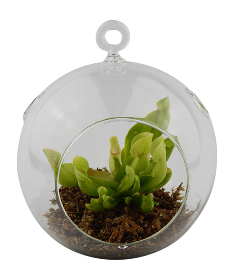 Bliss Gardens Purple Pitcher Plant Carnivorous Plant / Terrarium - Bliss Gardens