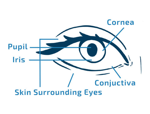 labeled image with parts of eye