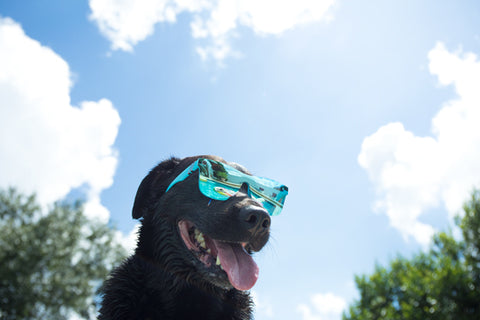 Black dog named Max wearing blue reflective sunglasses in sunny Florida. Blue skies with white clouds and green trees in the background.
