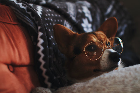 dog sitting on couch wearing aviator sunglasses
