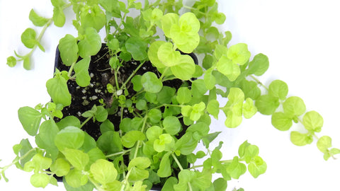 Creeping Jenny Lysimachia nummularia (Garden Delivery / Mail Order Garden Center and Nursery/ Buy Best Plants Online)