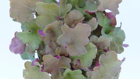 "Can't you just smell it? Heuchera 'Caramel"" Coral Bells (Garden Delivery / Buy Best Plants Online)"