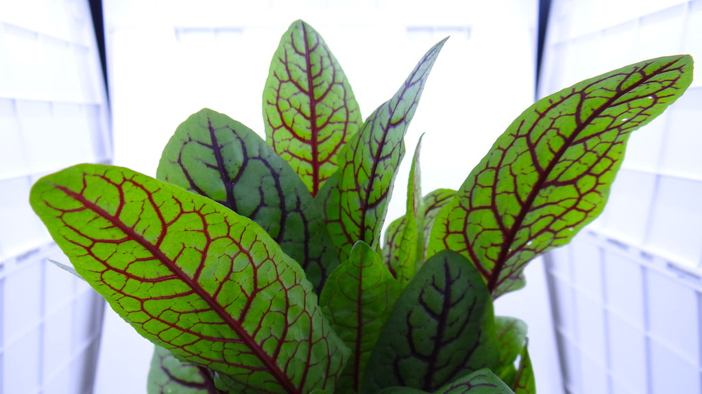 Red Veined Dock - Rumex (Garden Delivery / Mail Order Garden Center Nursery/ Buy Best Plants Online)