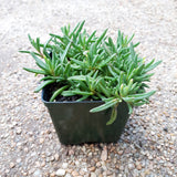 "Ice Plant Wow Fire Wonder Perennial 4"" (Temporarily out of stock)"