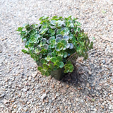 "Sedum Coral Reef Stonecrop Perennial 4"" (Temporarily Out of Stock)"