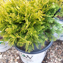 Arborvitae Annas Magic Ball Thuja