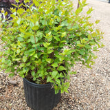 Abelia Rose Creek 3-gal