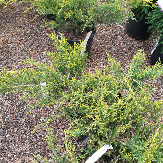 Juniper Gold Lace Juniperus chinensis 3-gal