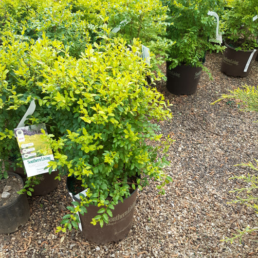 Ligustrum Sunshine Privet 3-gal