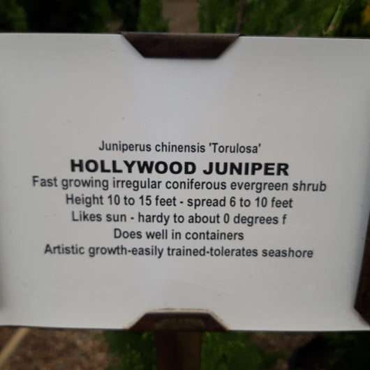Juniper Hollywood Juniperus chinensis Torulosa 1qt