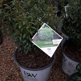 Holly Gem Box Inkberry Ilex glabra 3-gal