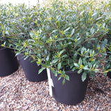 Gardenia Radicans 3-gal (Temporarily out of stock)