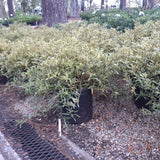 Gardenia Radicans Variegated 3-gal (Temporarily out of stock)