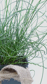 'Twisted Dart' Rush -(Juncus inflexus) - Best plants online