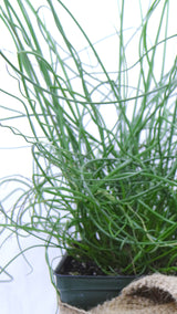 Best plants online-'Twisted Dart' Rush (Juncus inflexus)