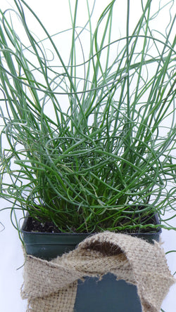 best plants online - 'Twisted Dart' Rush - Juncus inflexus