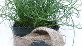 Grass - Juncus Twisted Dart Rush - Juncus inflexus Perennial 4""