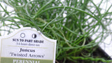 Best plants online 'Twisted Dart' Rush - Juncus inflexus