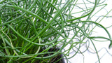 Best perennials online -'Twisted Dart' Rush - Juncus inflexus
