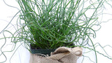 'Twisted Dart' Rush - Juncus inflexus - best online plant nursery