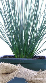 'Blue Arrows' Rush (Juncus inflexus) -Best Plants online