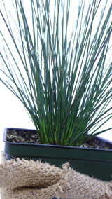 Best plants online - 'Blue Arrows' Rush (Juncus inflexus)