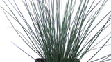Best online perennials - 'Blue Arrows' Rush - Juncus inflexus
