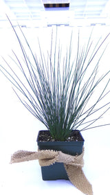 Best plants online- 'Blue Arrows' Rush - Juncus inflexus